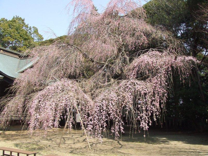 平成27年3月 境内のしだれ桜と野点