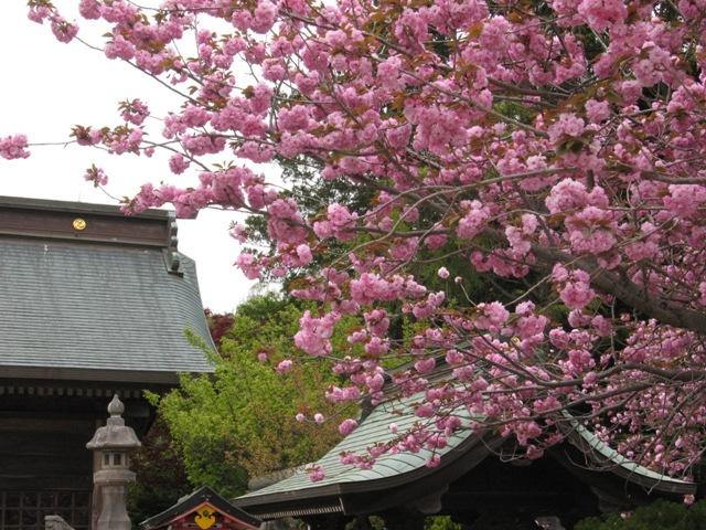 平成25年4月 牡丹桜が満開です。