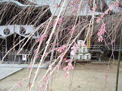 平成26年3月 境内のしだれ桜