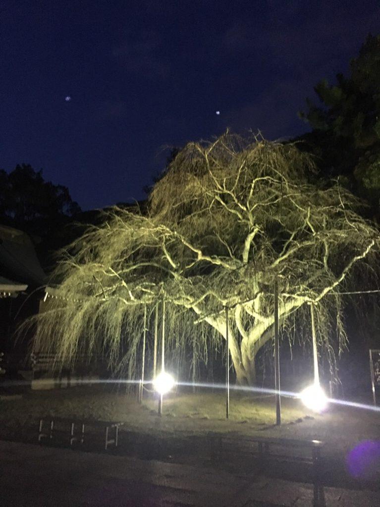 枝垂れ桜のライトアップ