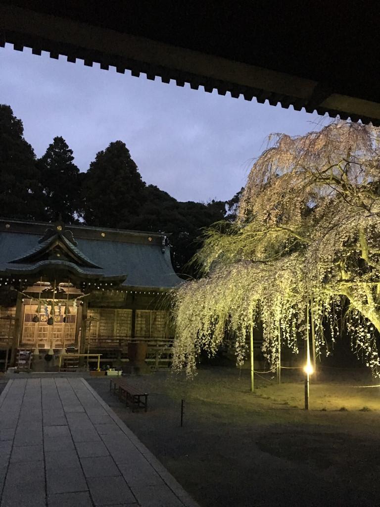 枝垂れ桜ライトアップのご案内