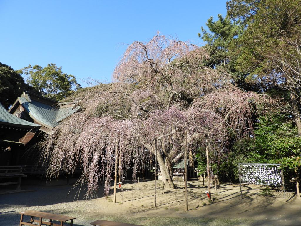 令和2年3月 枝垂れ桜