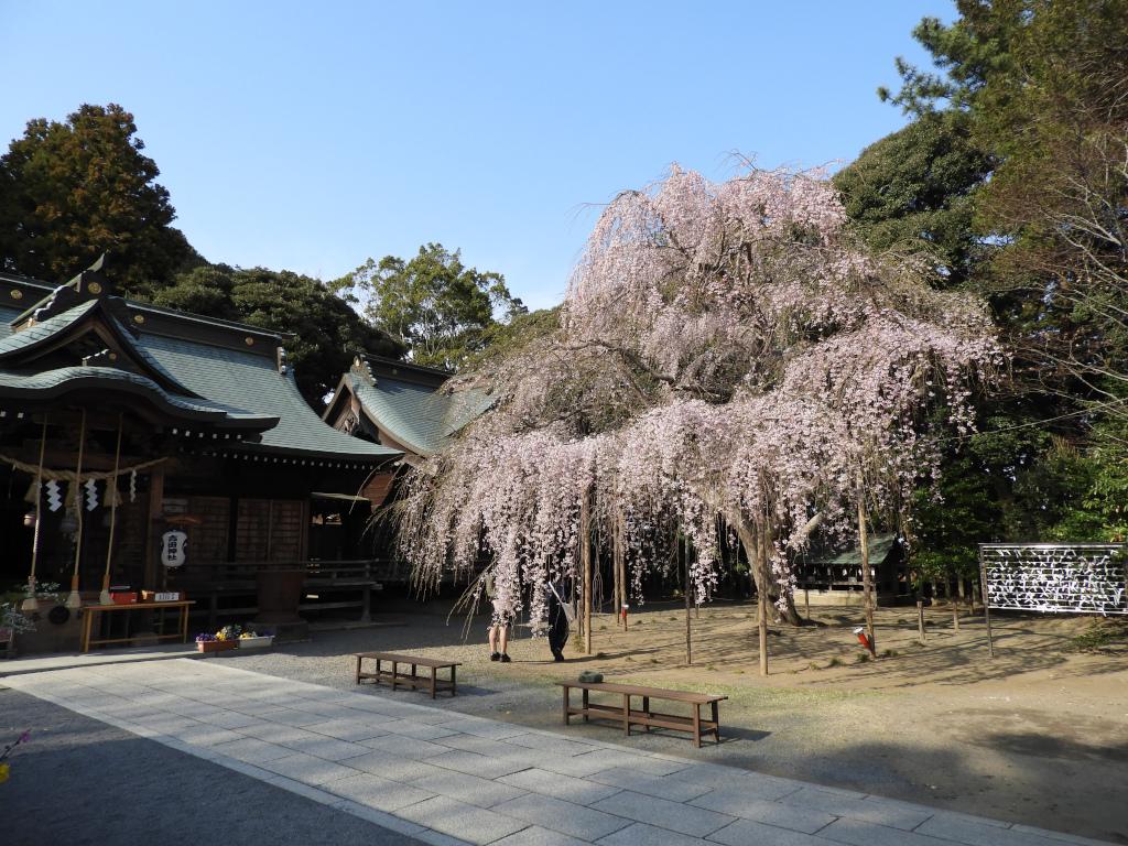 枝垂れ桜の見頃予想